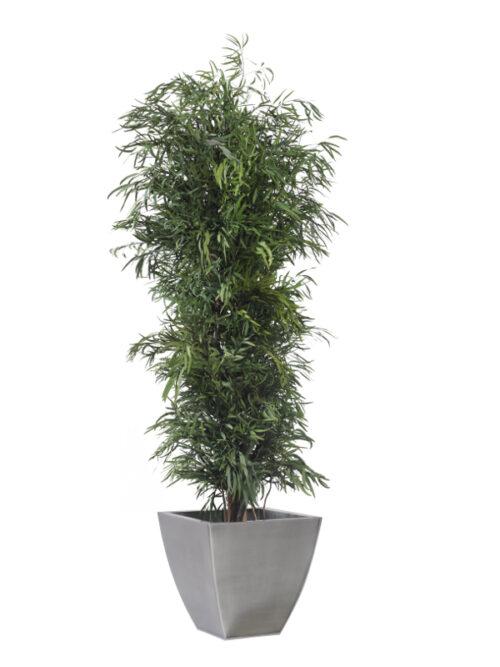 Schmaler Eukalyptusbaum Nicoly