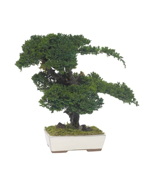 Bonsai Kissenwacholder 50 cm