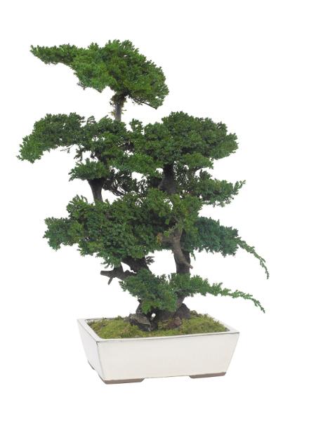Bonsai Kissenwacholder 70 cm