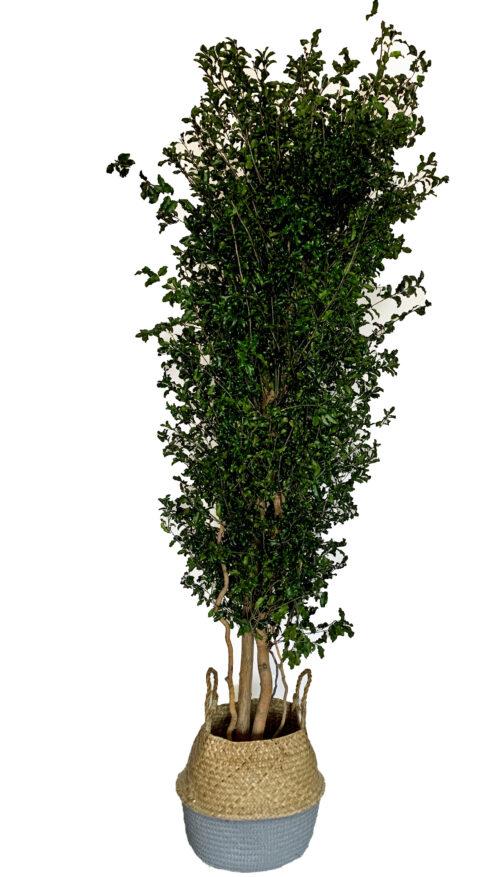 Schmalblättriger chinesischer Klebsamen-Baum