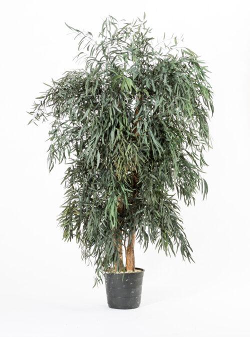 Breiter Eukalyptusbaum Nicoly grün