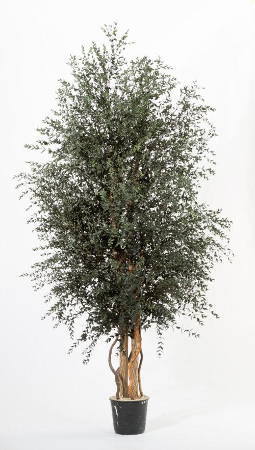 Breiter, kleinblättriger Klebsamen-Baum 180 cm