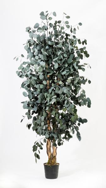 Breiter Eukalyptus Populus 180 cm