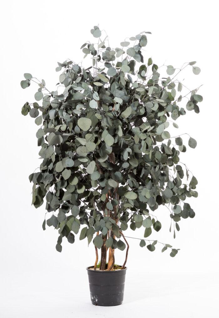 Breiter Eukalyptus Populus 130cm